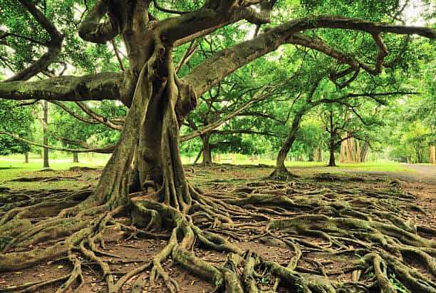 What is the national tree of india?
