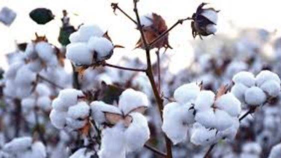 Which is the largest cotton growing State in India?