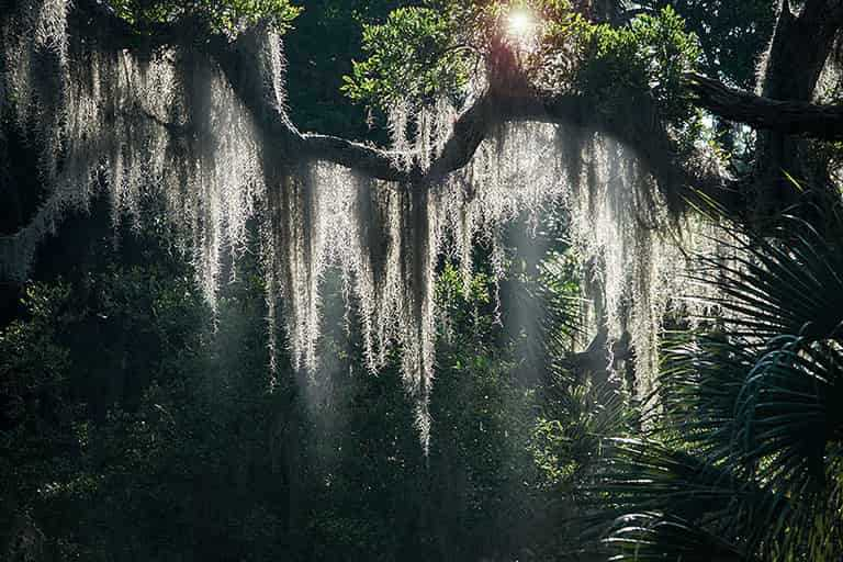 Does Spanish Moss Harm Crape Myrtle Trees?